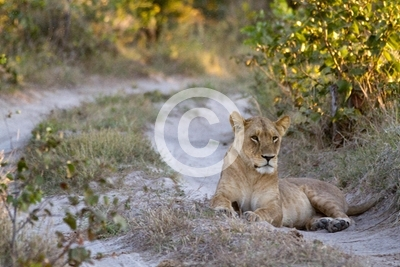 lions of the moremi reserve in botswana