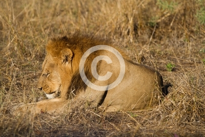 male lion in the moremi reserve in botswana