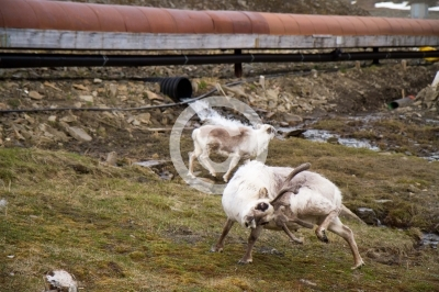reindeers walking  in the svalbard islands