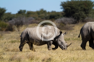 rhinos in the rhino sanctuary in botswana