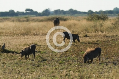 wildlife in the moremi game reserve in botswana