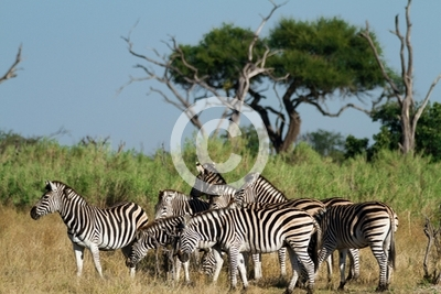 zebras of the okavango delta